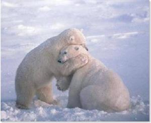 abrazo de oso polar